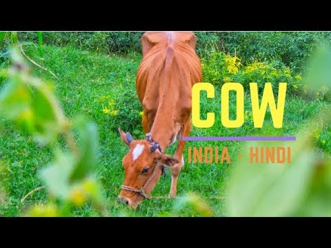 Indian cow | why cows are sacred in india - hindi