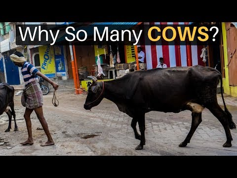 Why are there so many cows in india?