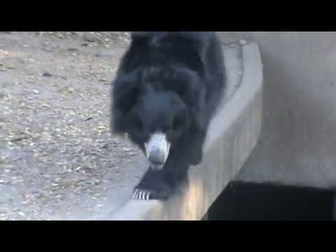Bear hungama in hyderabad zoo park , indian wild animal bear in attack mood in nehru zoological park